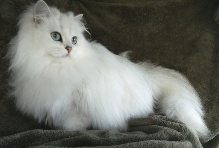 Длинношерстная белая кошка
