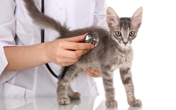 Котенок на осмотре у ветеринара