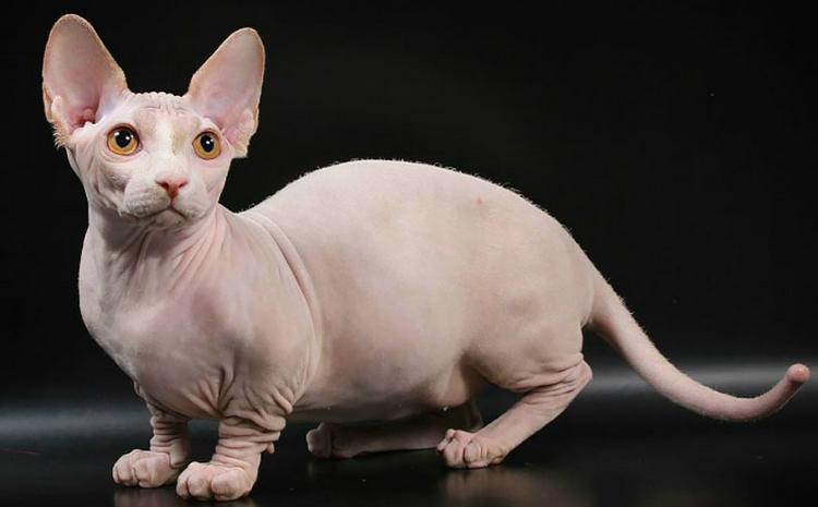 Bambino кошек при рождении