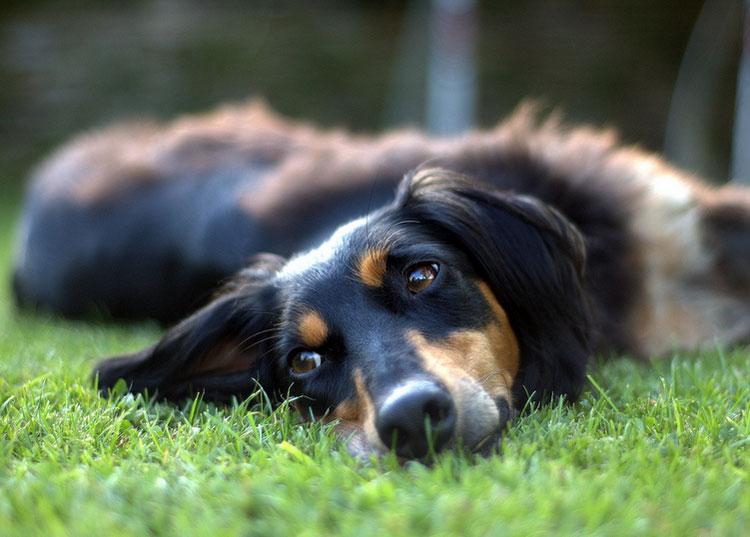собака перидская борзая