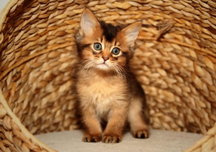 котенок сомали
