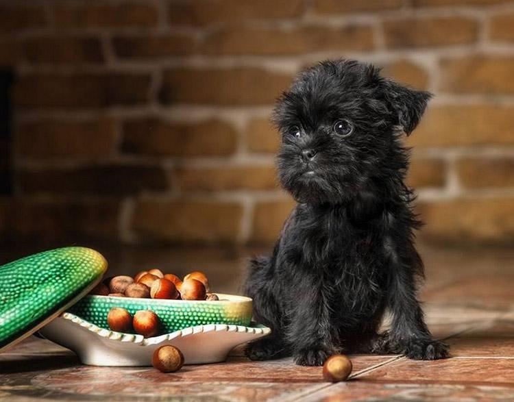 щенок аффенпинчера