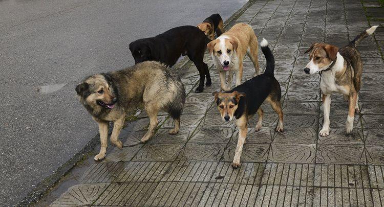 Бродячие собаки рядом с домашней