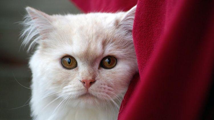 Домашний белый кот