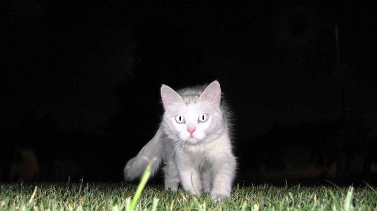 Кошка охотится ночью