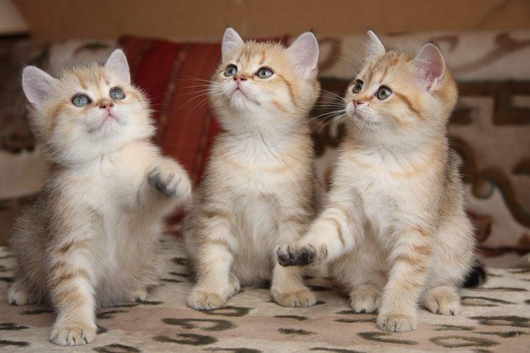 Трехмесячные котята