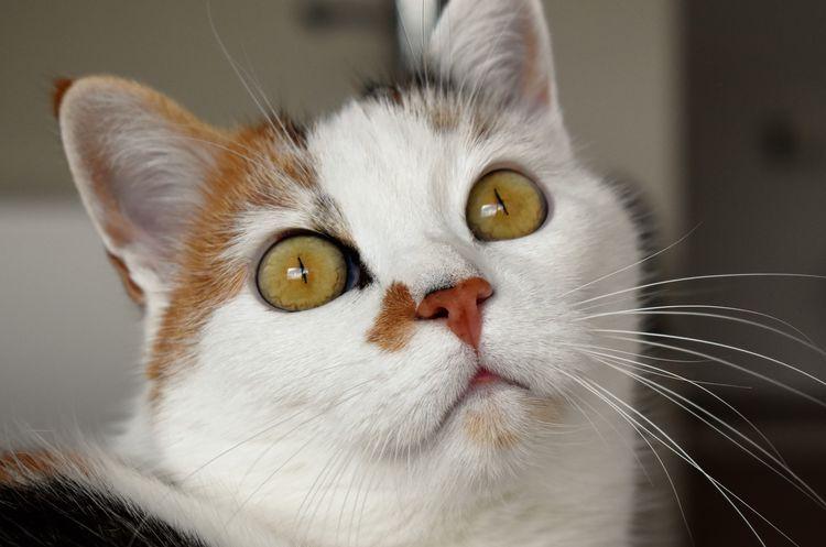 Кот-трехцветка