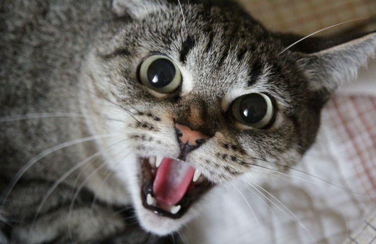 Очень злая кошка