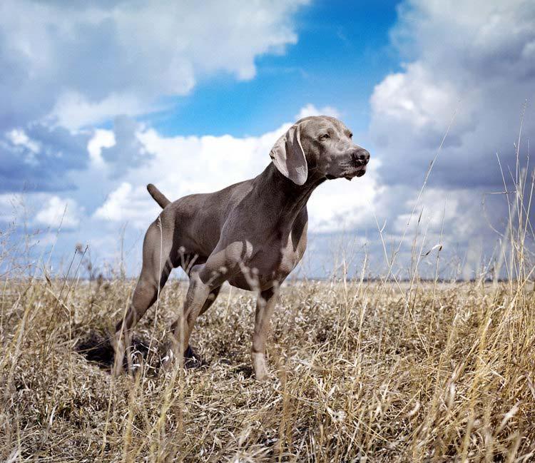веймаранер порода собак