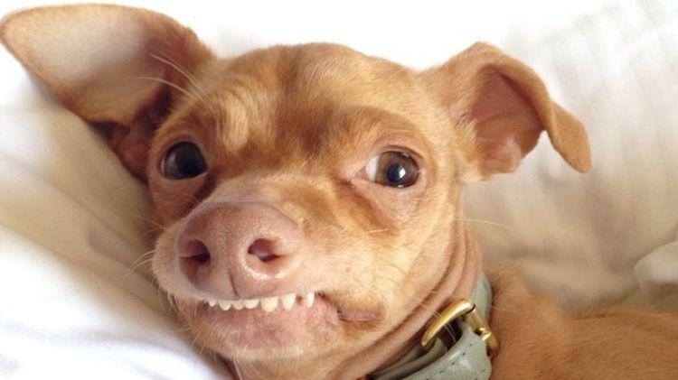 Зубастая собака в ошейнике