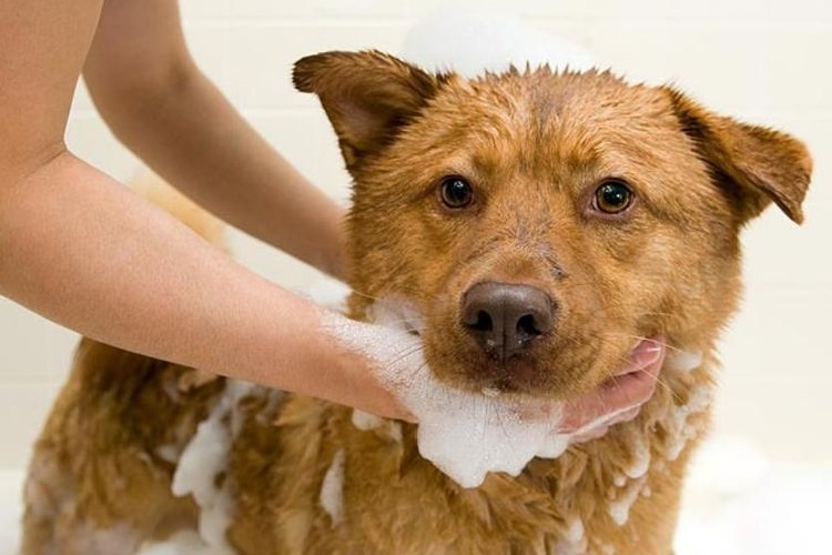 Рыжая собака в мыльной пене