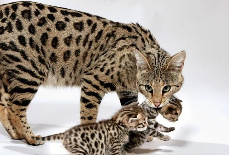 Кошка несет котят за холку