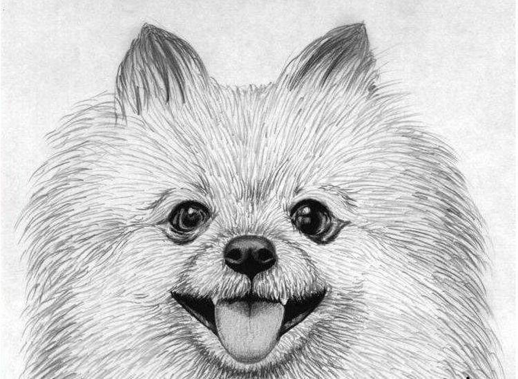 Портрет шпица карандашом