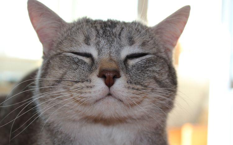 Серый кот улыбается