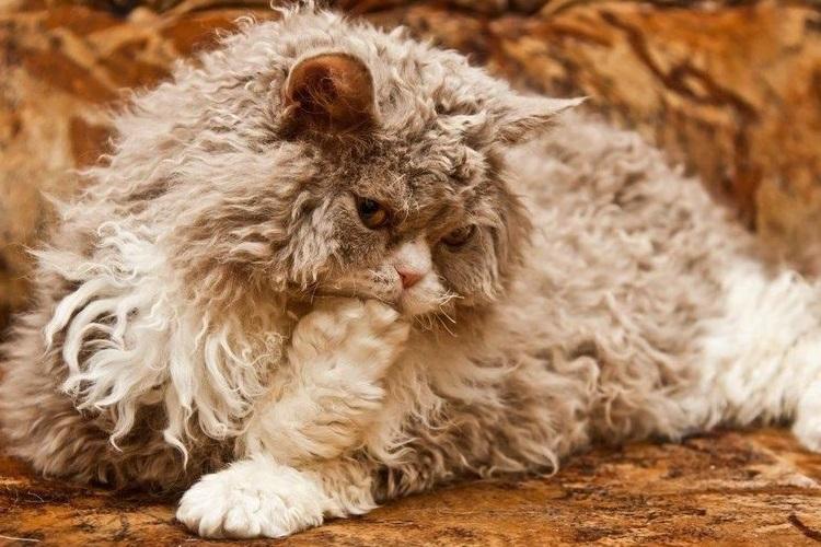 Длинношерстная кошка сукум
