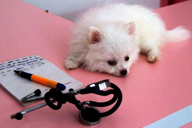 Маленькая собачка лежит на столе