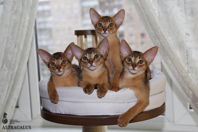 Котята из питомника AMBERBERRY