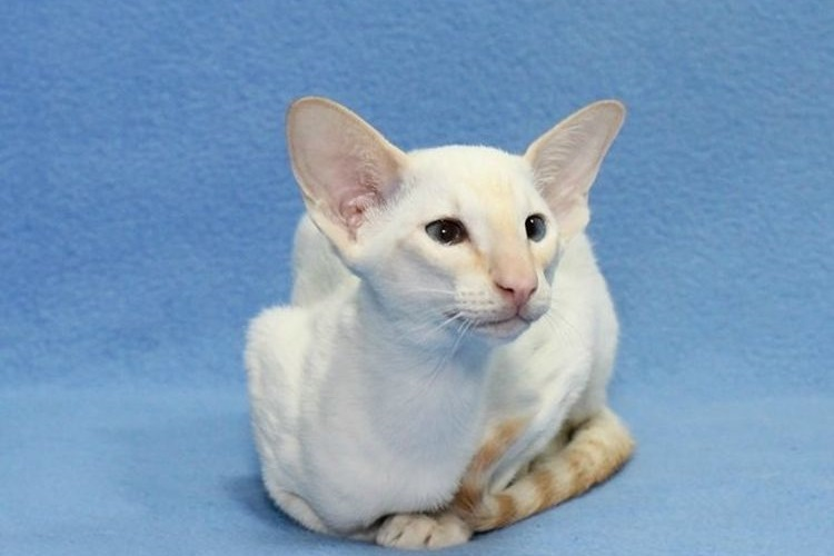 Кот сейшельской породы