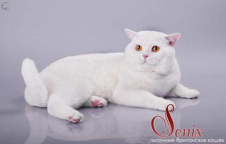 Британский прямоухий кот