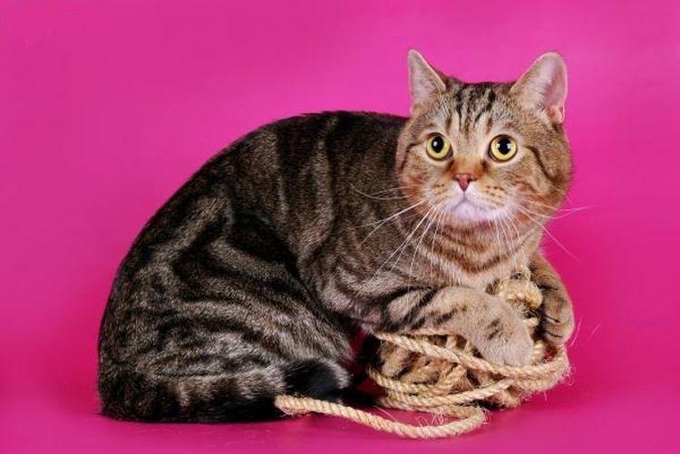 Шотландский прямоухий кот с клубком ниток