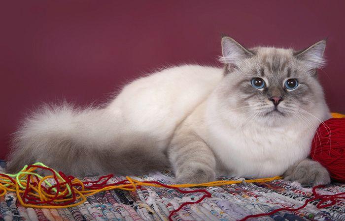 Один из котов питомника Жемчуг Невы