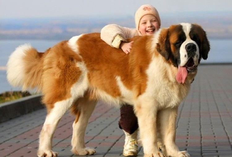 Девочка обнимает сенбернара