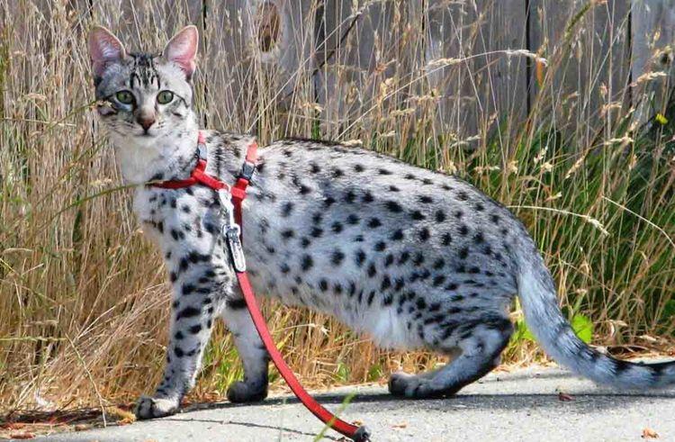 Пятнистая кошка гуляет в шлейке
