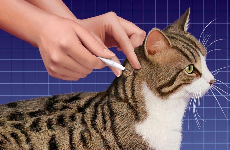 Нанесение капель на холку кошки
