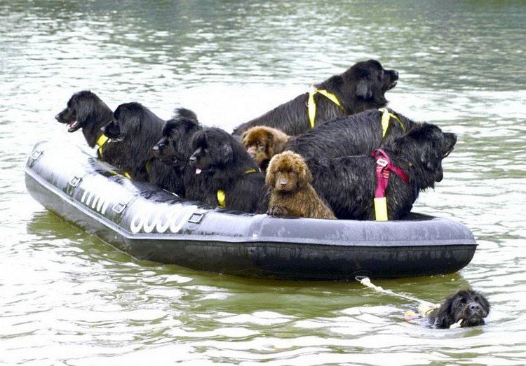 собака спасает на воде