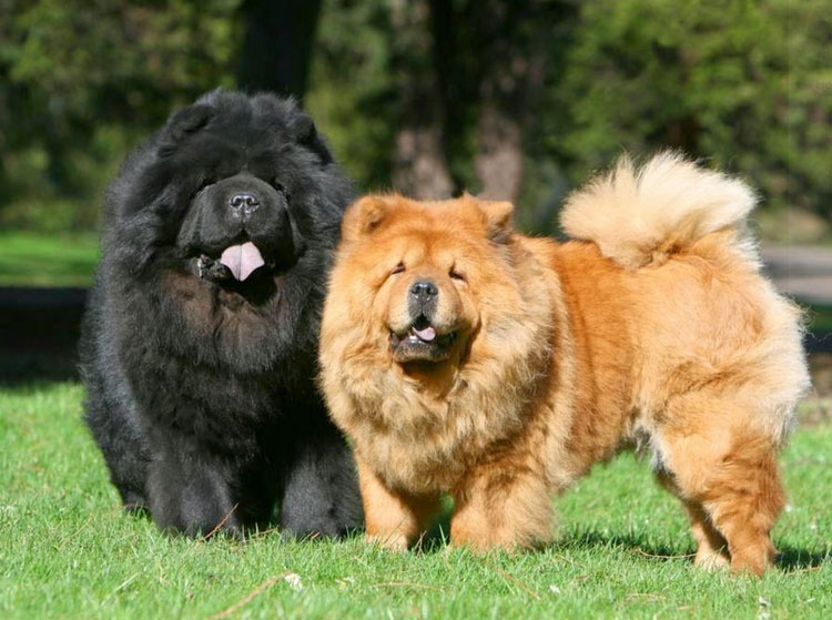 собаки чау-чау