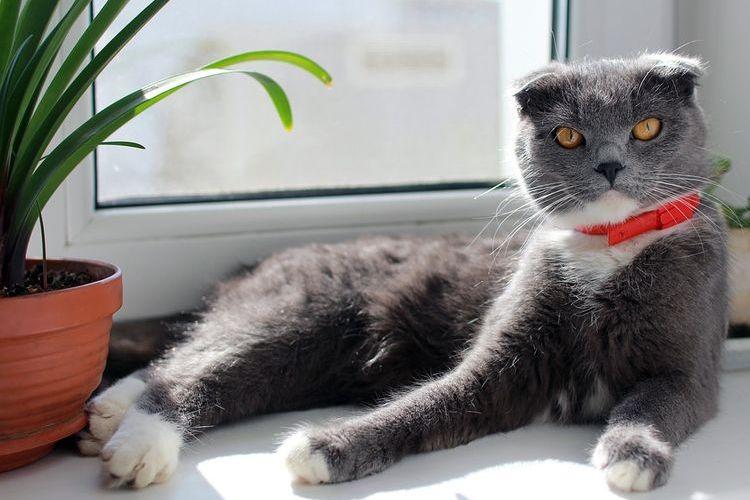 Британский кот на подоконнике