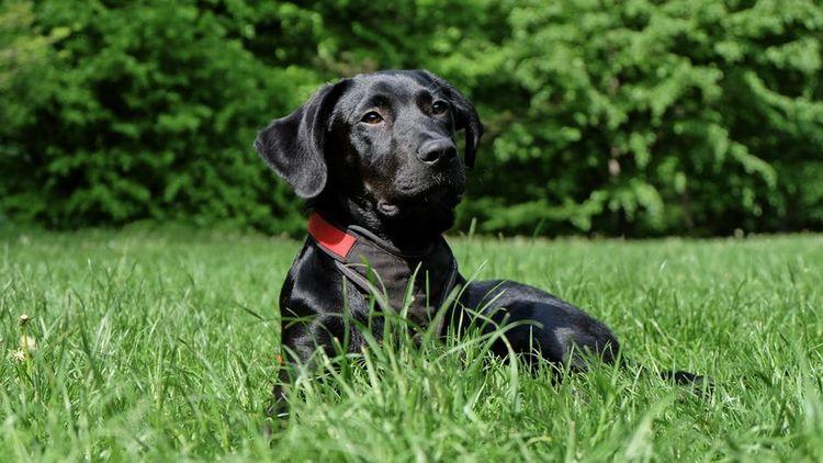 Черный лабрадор на траве