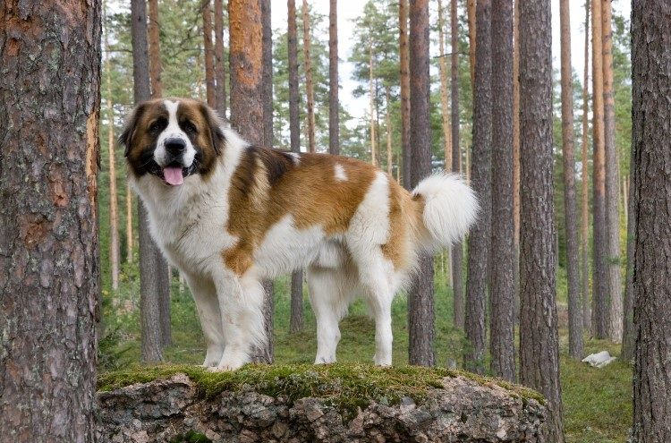 Московская сторожевая в лесу