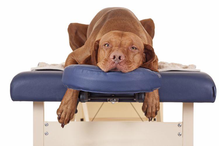 Собака лежит на кушетке