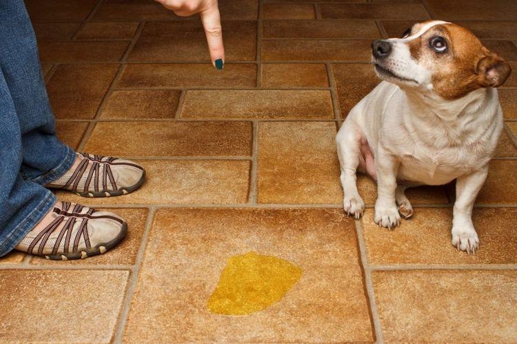 Собака сделала лужу на полу