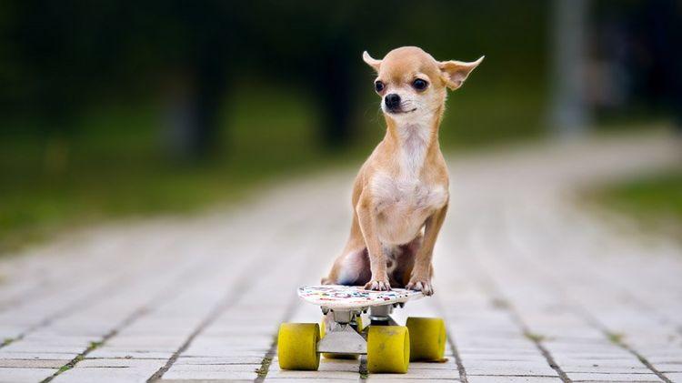 Чихуахуа на скейте