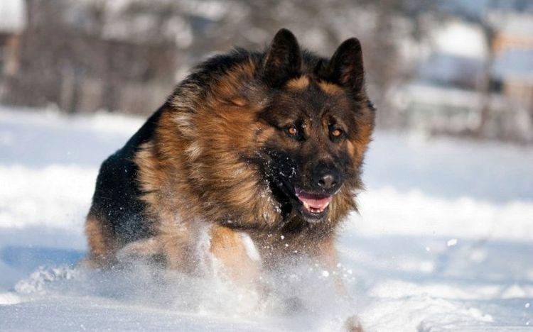 Немецкая овчарка бежит по снегу