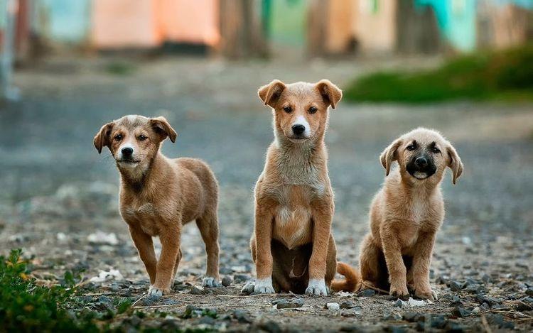 Три дворовые собаки