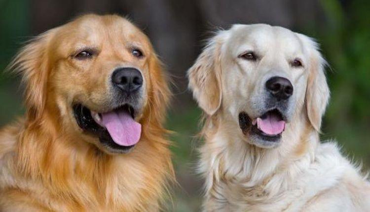 Случка собак