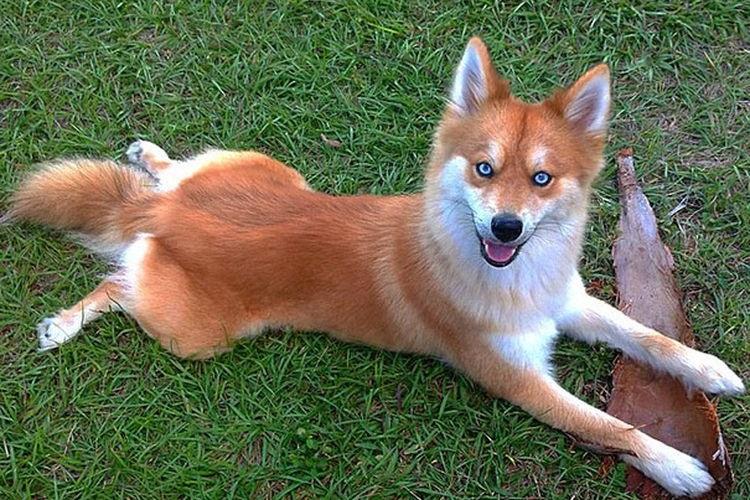 Собака, похожая на лису