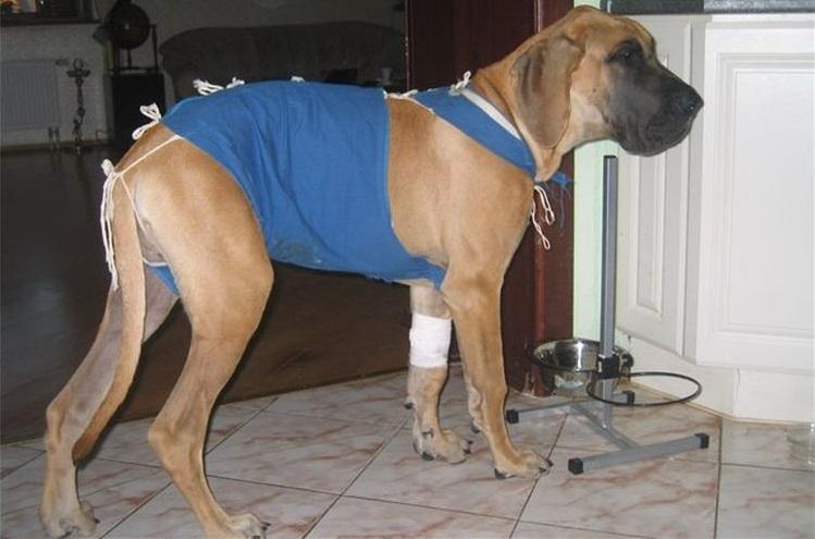 Больная собака после операции