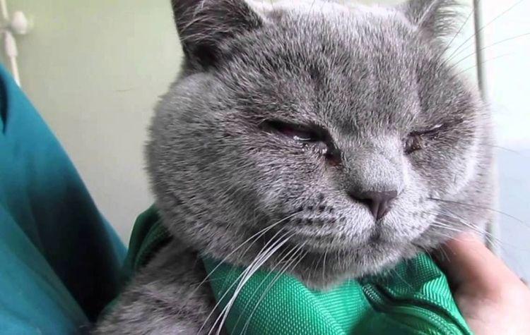 У котенка британца закисли глаза