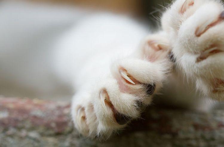 Кошачья лапа с когтями