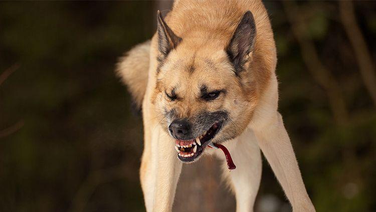 Агрессивная собака рычит