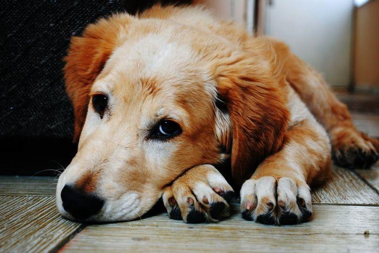 Рыжая собака грустит