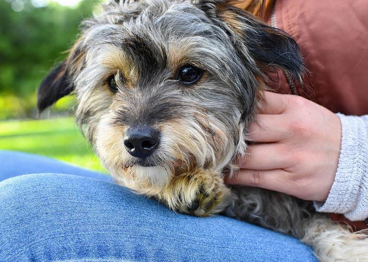 непризнанная порода собак мальтипу