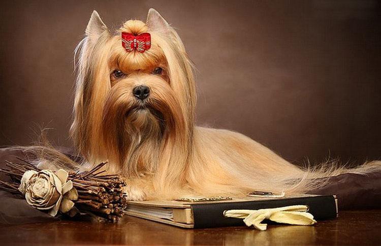 русская салонная собака проода