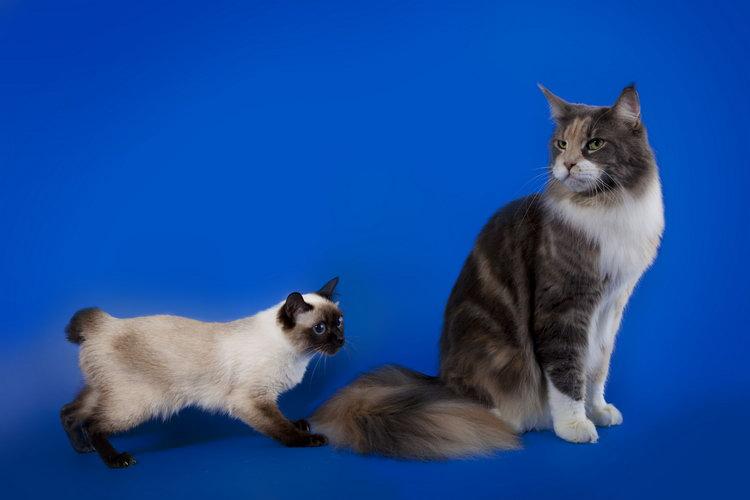 Скиф-той-боб порода кошек