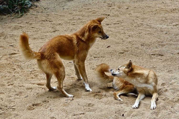 Собаки динго