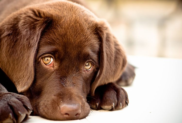 Коричневый щенок грустит
